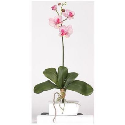 Mini Phalaenopsis Stem